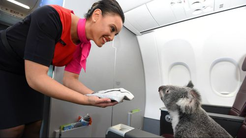 """""""Do you have any more of the leaves?"""" This little fellow was baffled by the offer of a hot towel. (Qantas Facebook)"""