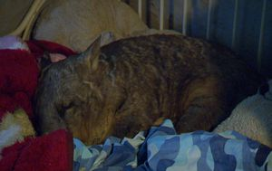 Wombat fighting for life after being shot 26 times in South Australia