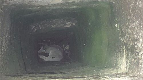 The kangaroo was found lying at the bottom of the 11m hole.