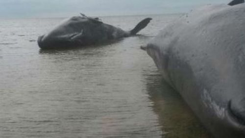 Two of the whales beached south of Ardrossan. (Supplied, @Brad_Aldridge)