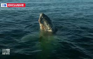 Mega-pod of massive whales seen feeding off NSW coast