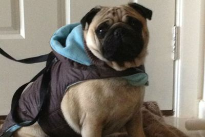 Google the pug embraces the winter chill! Thanks Ishkaran.