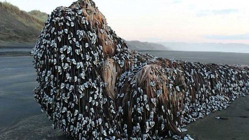 A large piece of driftwood covered in goose-neck barnacles washed ashore in New Zealand last year. (Photo: contributed)