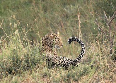 Masai Mara cheatah