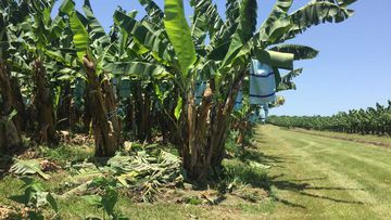 Banana farms rely heavily on migrants and backpackers.