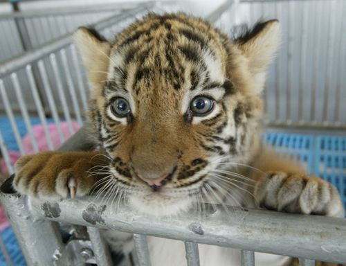 """The Chinese government has legalised the use of endangered tiger and rhino products for """"medical"""" purposes."""