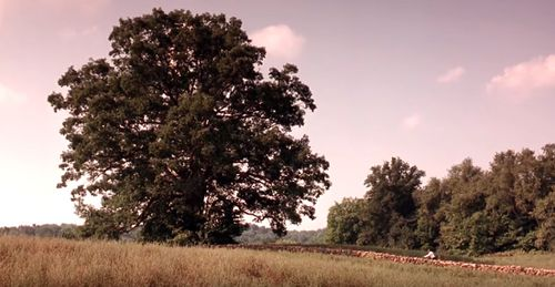 The huge oak was estimated to be between 180 - 200 years old. The rock wall, built especially for the movie, has been dismantled. And the field where the great tree stood has now been ploughed and planted with crops.