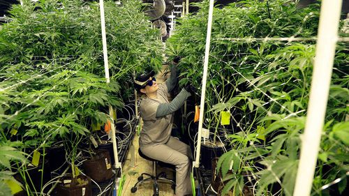Heather Randazzo, a grow employee at Compassionate Care Foundation's medical marijuana dispensary, trims leaves off marijuana plants in the company's grow house in Egg Harbor Township, New Jersey.
