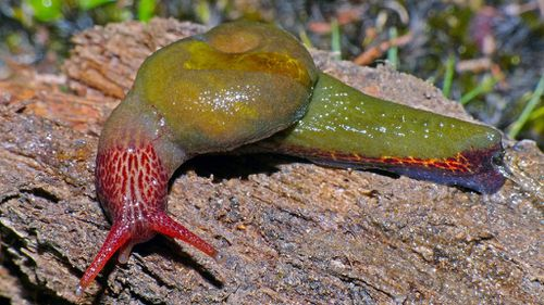 """The """"Attenborougharion rubicundus"""" snail. (AAP)"""