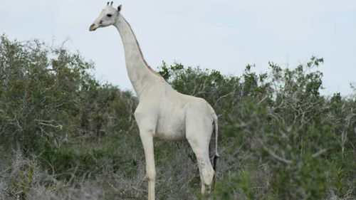 Two rare white giraffes killed by armed poachers at wildlife sanctuary