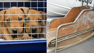 Dozens of dogs saved from dog-fighting in Queensland raids