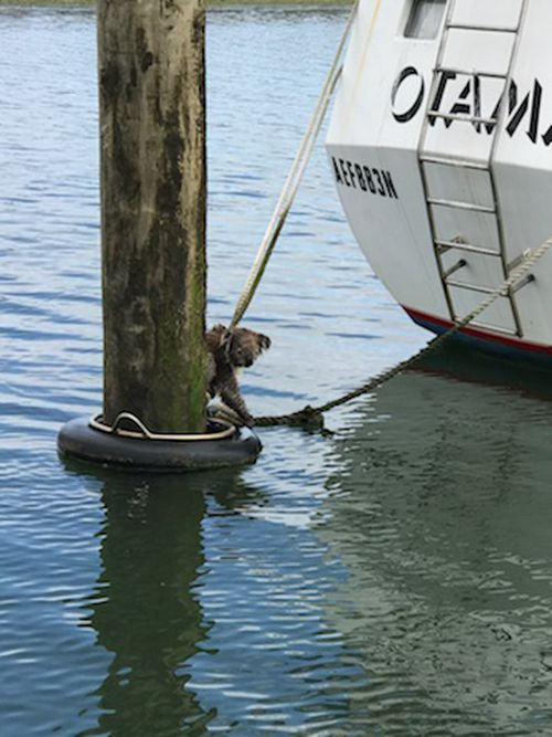 And used its claws to clutch onto the ropes attached to the mooring. (Supplied)