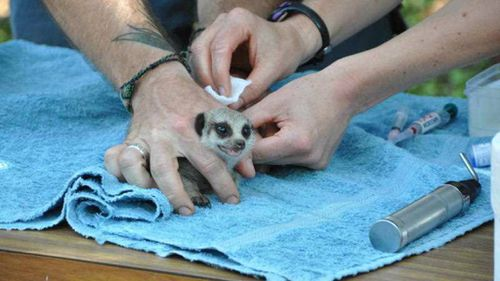 Meerkat pups are vaccinated and weighed at their first vet check at Perth Zoo. (AAP)