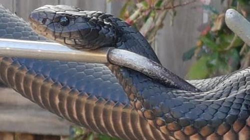 190927 Cairns red-bellied black snake capture home wildlife animals news Far North Queensland