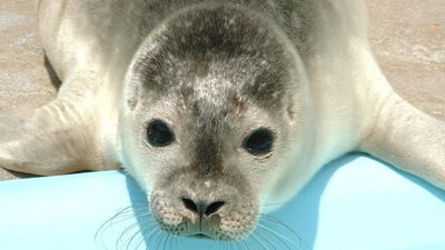 On Tuesday, Charlie and Celebration were both returned to the ocean. (Natureland Seal Sanctuary)