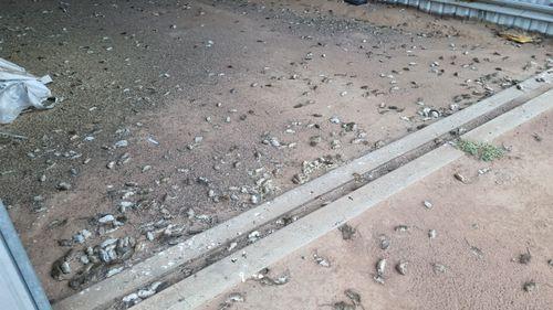 Dozens of dead rodents in Coonamble. mouse plague