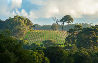 Vineyard in Margaret River, Western Australia