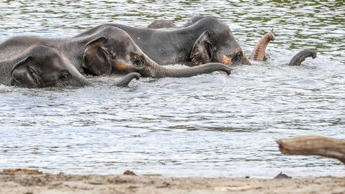 Elephants play in water in their outdoor enclosure of the Pairi Daiza animal park in Brugelette, Belgium. (AAP)