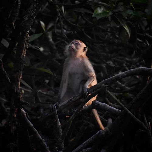Long-tailed Macaque, Malaysia (2021)