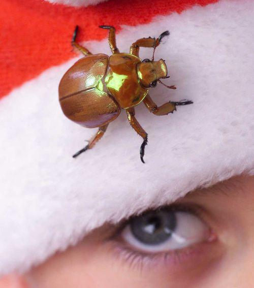 Once a Christmas regular, the scarab is becoming rarer and rarer.