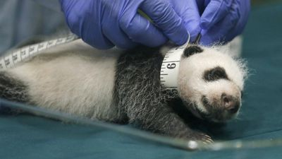 One of the Chinese panda triplets has measurements taken during a one month check-up. (AP Photo/Kin Cheung)