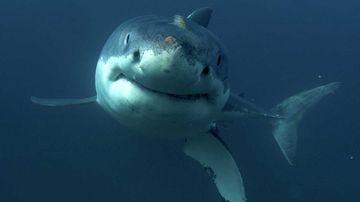 Dramatic decline in Australian shark numbers
