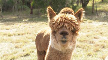 Aussie researchers using alpacas to find alternative COVID-19 treatment
