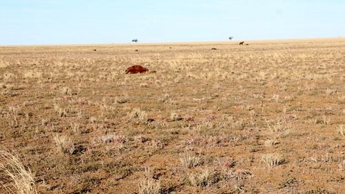 The deceased horses, including geldings; colts; pregnant mares, and mares with foals, were found dead on the 5,000-acre property north of Longreach Wednesday afternoon.