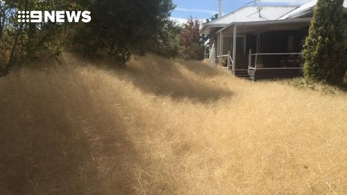 Ms Gloury said the tumbleweeds have been almost impossible to clear. (Copyright: 9NEWS)