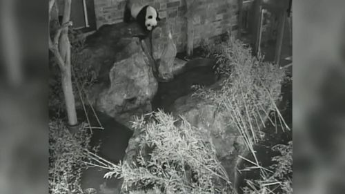 Fu Ni began scent-marking over the past few days, which is a mating behaviour. (9NEWS)