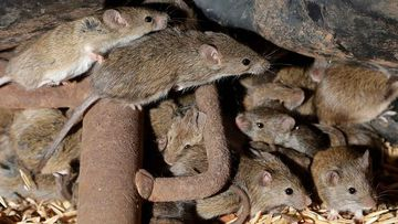 Mice ravaged crops and infested homes in regional NSW in autumn this year.
