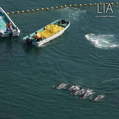 Seven bottlenose dolphins were captured on the first day of the hunt. They will be sold to aquariums for captivity.