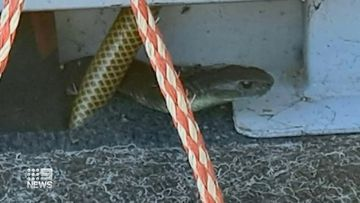 Fisherman finds one-metre tiger snake in his boat