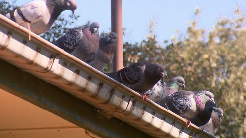 Another neighbour said the flocks of pigeons could become annoying.