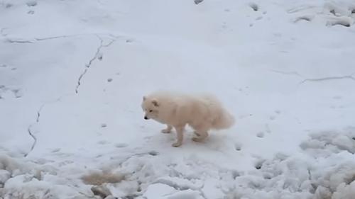 Белая собака по имени Ика была найдена после того, как потерялась в Арктике.