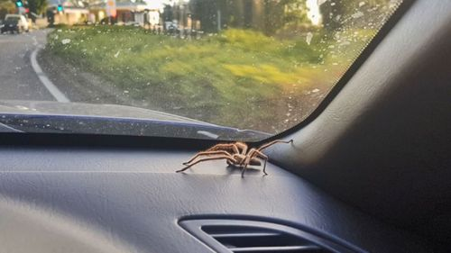 Ms Banks is not surprised when the spider is seen in her car day-after-day.