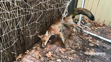 This year, the RSPCA have been called out to nine birds and a fox that have been caught in garden netting, sometimes proving fatal.