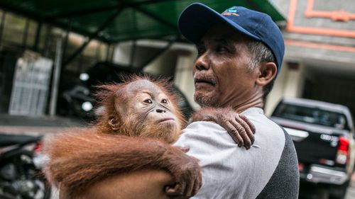 Man tried to smuggle drugged orangutan out of Bali