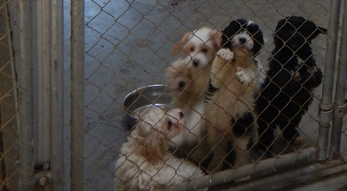 Victorian puppy seller convicted, banned for two-years