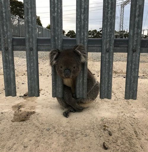 Rescuers believe the koala may have been trapped all night. Picture: 9NEWS