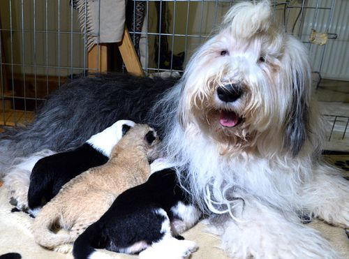 Abandoned lion cub cuddles up to shaggy-haired sheepdog