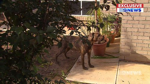 The dangerous dog attacked the woman in Salisbury North seriously injuring her head and shoulder.