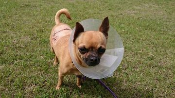 Chihuahua survives eagle attack in Queensland backyard