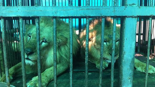 It took 18 months for the ADI to rescue all 33 of the lions. (Animal Defenders International)
