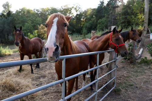 Horses stand in an enclosure at the location of a meeting between local authorities, elected officials and horse breeders whose animals have been victims of mutilation attacks in Plailly, northern France