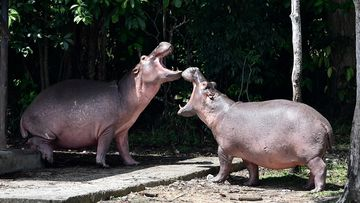 Escobar's hippos bred to become supposedly the biggest wild hippo herd outside Africa.