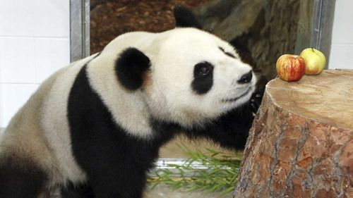 SA's giant panda Fu Ni may be expecting
