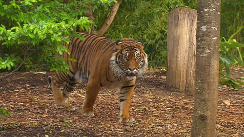 Adelaide Zoo's newest attraction is the 130kg Sumatran tiger Kembali.