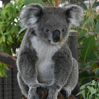 Koala Hospital Port Macquarie adoption, $60