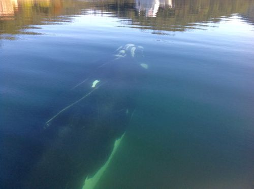 The whale swam calmly around the boat. (Supplied)